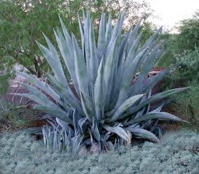 Agave Century Plant (Agave americana, American Aloe)