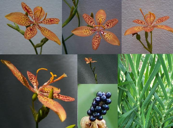 Image 2 of Blackberry Lily, Leopard Lily, (Belamcanda  chinensis)  Seeds