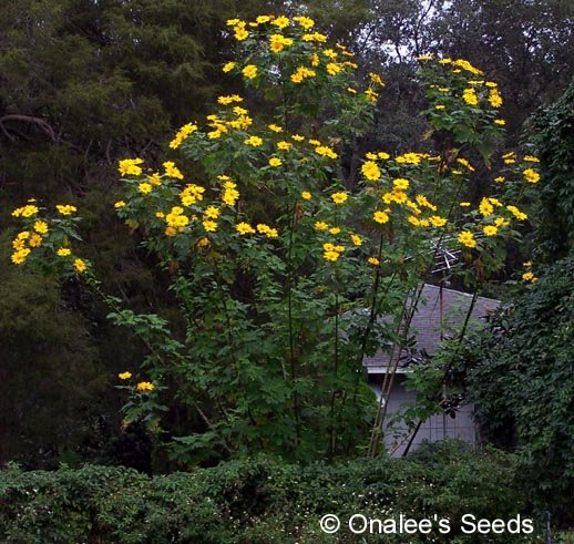 Image 1 of BOLIVIAN (Mexican) SUNFLOWER / Tree Marigold  Cuttings  (T. diversifolia)