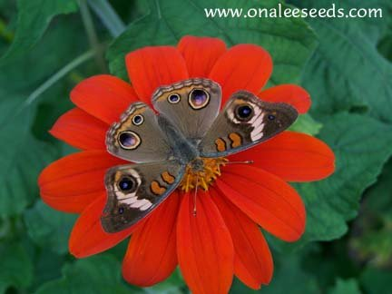 Butterfly Garden Collection! Host and Nectar Plants, 4 packs for price of 3!