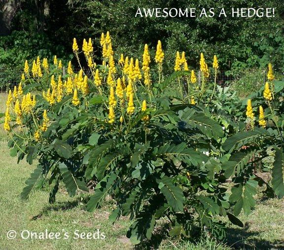 Image 1 of Cassia Alata / Senna Alata / Candlestick / Candelabra Bush Seeds