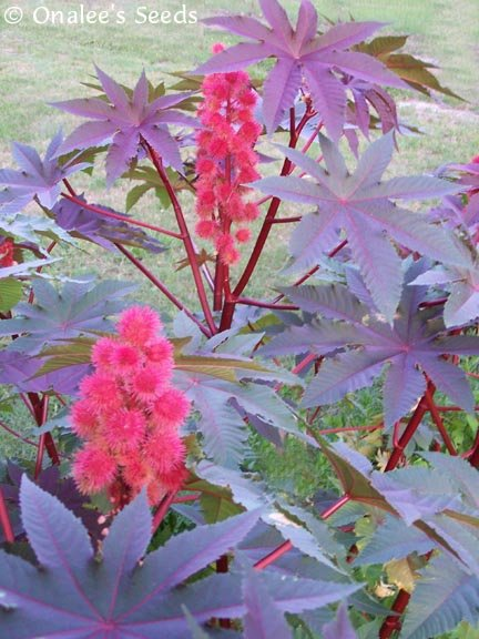 Image 1 of Castor Bean RED Seeds - Tropical Look-Fast Grower! (Ricinus communis)