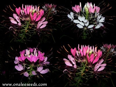 Cleome: Pink, Rose & Violet Queen Cleome hasslerana, Spider Flower Seed Mix