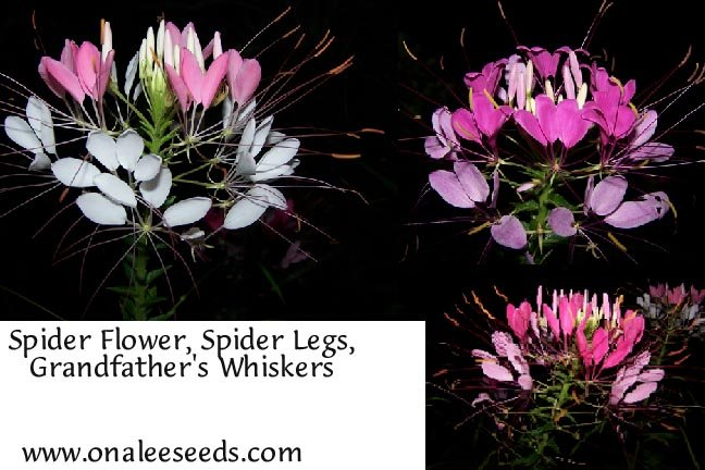 Image 1 of Cleome: Pink, Rose & Violet Queen Cleome hasslerana, Spider Flower Seed Mix