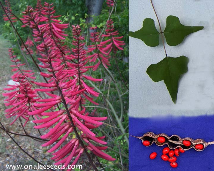Image 2 of Coral Bean, Cardinal Spear or Cherokee Bean (Erythrina herbacea) Seeds