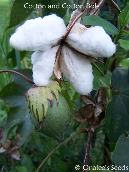 COTTON (Gossypium herbaceum) Seeds, Yellow Flowers and REAL COTTON in the fall!