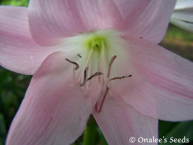 Crinum Lily: Cape Lily, Pass Along Pink,  Light Pink Flowers, Southern Favorite!