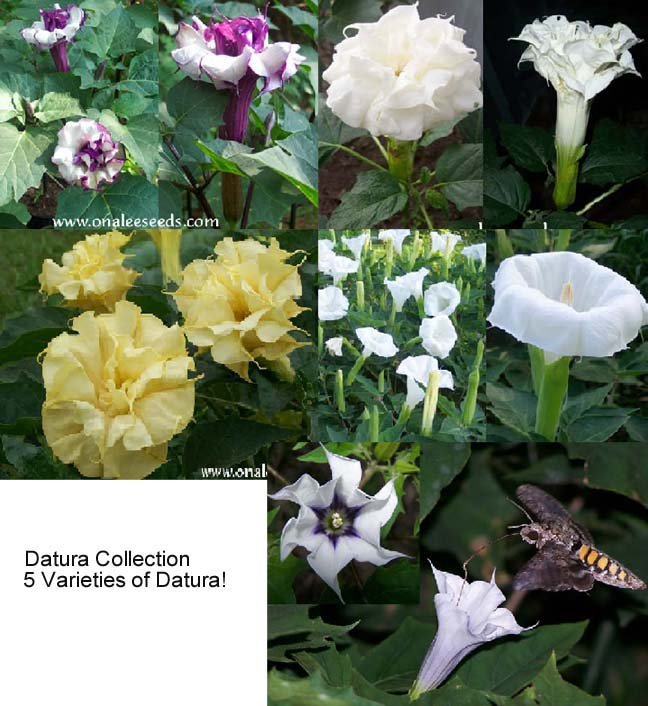 Image 1 of Datura Seed Collection #2: 5 different datura varieties for the price of 4!