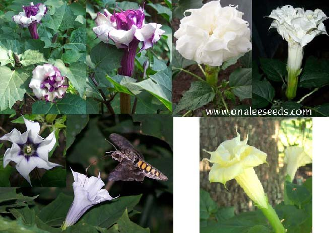 Datura Seed Collection: 4 different datura varieties for the price of 3!