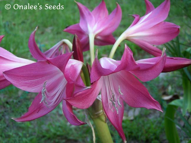 Crinum Lily: Deep Pink Flowered Florida Hybrid - Blooming Size Bulb