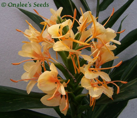 Dr. Moy Hardy Ginger Rhizome (Hedychium) FRAGRANT Flowers, Variegated Foliage