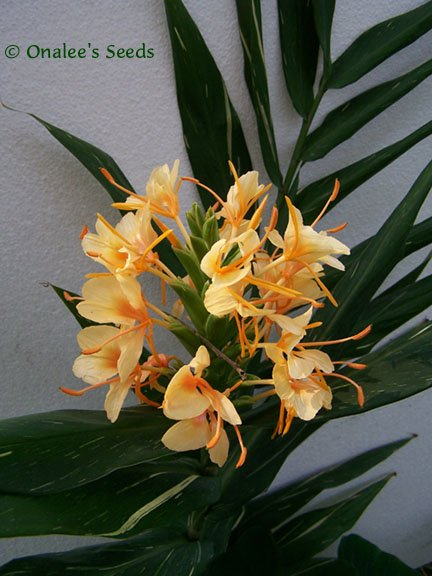 Image 1 of Dr. Moy Hardy Ginger Rhizome (Hedychium) FRAGRANT Flowers, Variegated Foliage