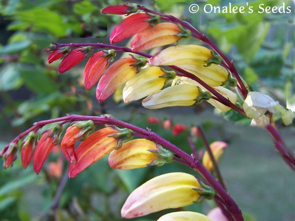 Exotic Love Vine, Spanish Flag, Fire Cracker Vine (Ipomoea Lobata, Mina Lobata)