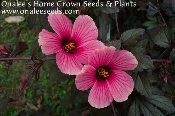 Hibiscus: False Roselle, Red-Leaf, African Rose Mallow (Pink Flowers)