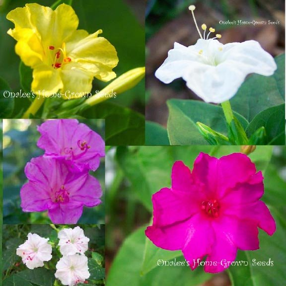 Four O'clock:  TUBERS POT LUCK/MIXED COLORS, Marvel of Peru, Mirabilis Jalapa