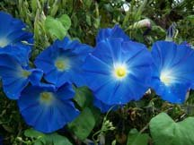 Heavenly Blue Morning Glory Seeds, Ipomoea tricolor