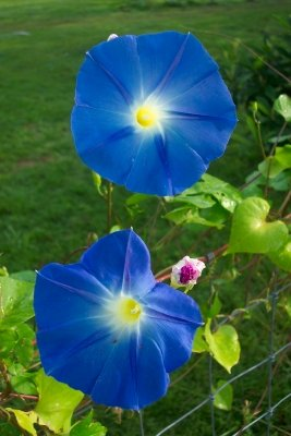 Image 2 of Heavenly Blue Morning Glory Seeds, Ipomoea tricolor