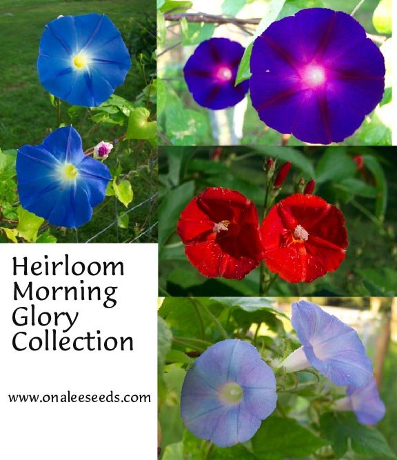 Image 1 of Heirloom Morning Glory Collection / 4 packs for the price of 3! (HB.SY.NB.SSTR)
