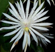 Night Blooming Cereus: Hooker's Orchid Cactus, Epiphyllum hookeri