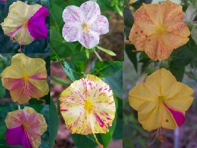 Image 1 of KALEIDOSCOPE (Broken Colours) Four O'Clock / Marvel of Peru Seeds Mirabilis