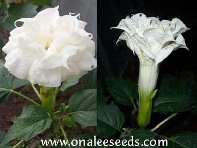Datura Metel, Large *Triple* Pure WHITE Devil''s Trumpet Seeds