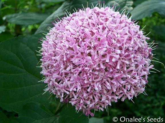 Mexican Hydrangea -  Clerodendrum bungei PLANT