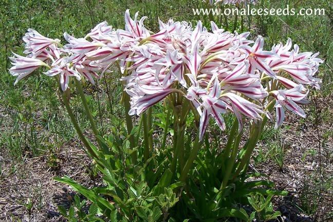 Image 2 of Crinum Lily: Milk & Wine Crinum Lily (Crinum scabrum) Bulb