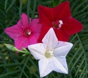 Cypress (Hummingbird) Vine: Mixed Red, Pink & White Seeds