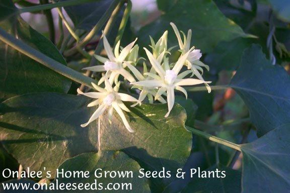 Image 1 of Morrenia odorata / Latex Vine / Strangler Vine Seeds