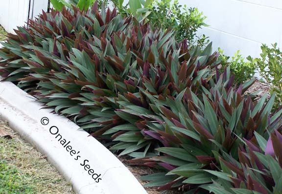 Image 2 of Moses-in-a-Basket / Cradle, Boatlily, Oyster Plant (Tradescantia spathacea)