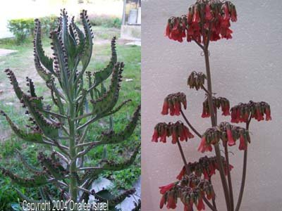 MOTHER OF THOUSANDS (cactus succulent) BABIES - Chandelier plant (Kala