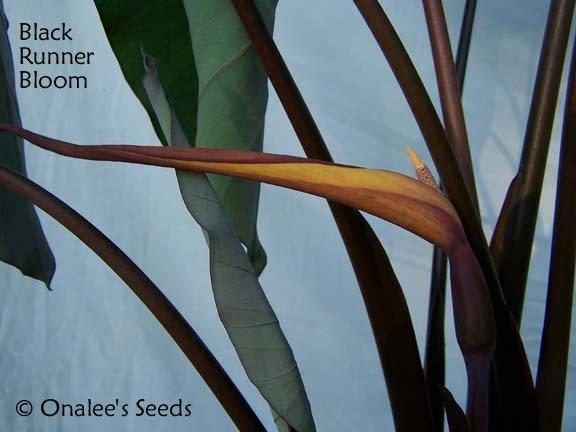 Image 1 of Elephant Ear: BLACK RUNNER (Black Ruffles, Like Black Magic) Plant is HERE!