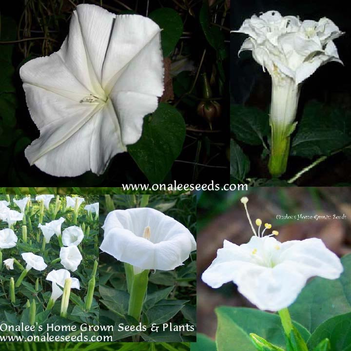 Night Garden Collection #2 Fragrant White Flowers - 4 packs for the price of 3!