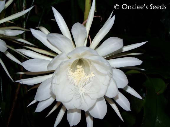 Image 0 of Night blooming Cereus: Queen of the Night, Dutchman's Pipe Cactus Epiphyllum