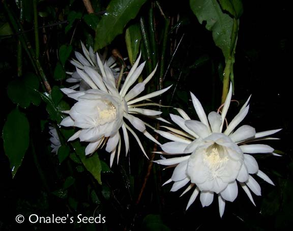 Image 1 of Night blooming Cereus: Queen of the Night, Dutchman's Pipe Cactus Epiphyllum
