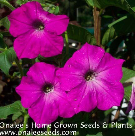 Image 0 of Old Fashioned PETUNIA seeds - Mixed Colors - Fragrant! Hummingbirds,Butterflies!