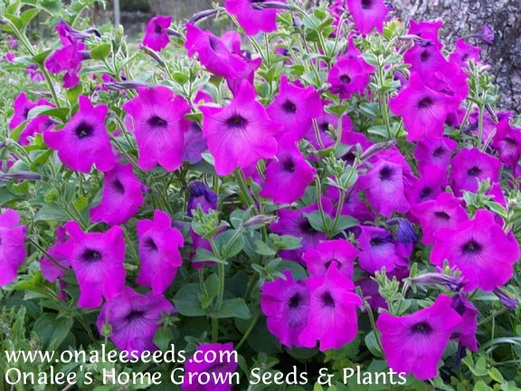 Image 2 of Old Fashioned PETUNIA seeds - Mixed Colors - Fragrant! Hummingbirds,Butterflies!