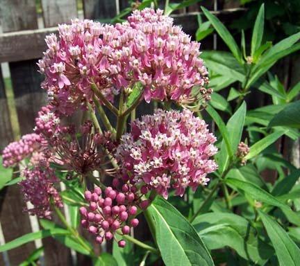Butterfly Milkweed Seeds: PINK ''Cinderella'' , Asclepias incarnata)