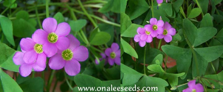 Oxalis Pink Flowering, Wood Sorrel, Green Leaf Shamrock Plant.