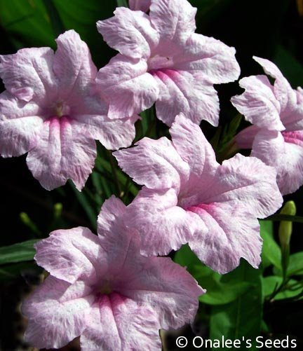 Image 1 of Mexican Petunia, Chi Chi: PINK (Ruellia brittoniana) Seeds