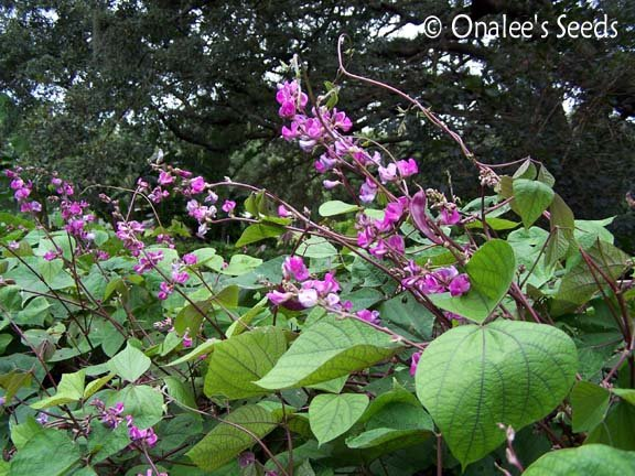 Image 0 of Hyacinth Bean Vine Seeds: PURPLE , Lablab purpureus, Dolichos lablab