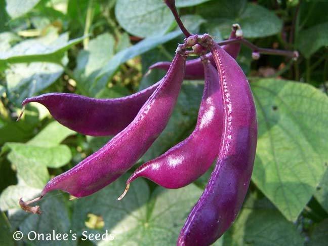Image 2 of Hyacinth Bean Vine Seeds: PURPLE , Lablab purpureus, Dolichos lablab