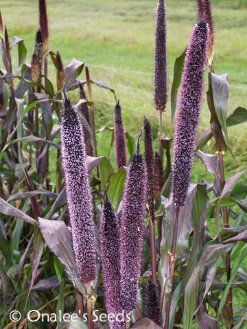 Purple Majesty Millet / Black Ornamental Grass -  Birds! Pennisetum glaucum