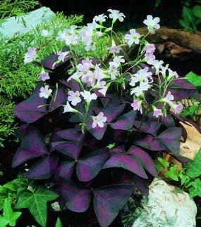 OXALIS: Purple Shamrock (Wood Sorrel) Light Pink flowers ''Triangularis'