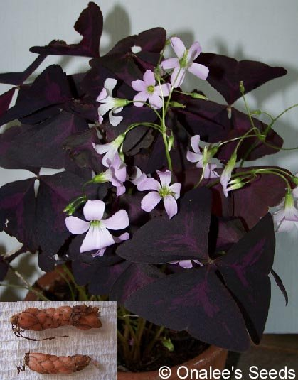 Image 1 of OXALIS: Purple Shamrock (Wood Sorrel) Light Pink flowers ''Triangularis'