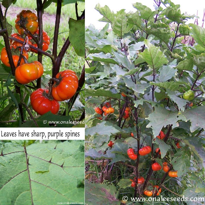Image 1 of Ruffled Red (Red Ruffles),Hmong Egg Plant, Pumpkin Tree Seeds-Solanum
