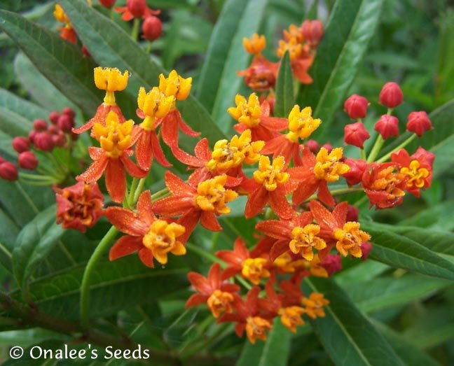 Butterfly Milkweed: Scarlet/Red (Asclepias) Seeds *Monarch Butterfly Host Plant*