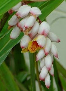 Image 1 of Ginger: Shell Flower, Alpinia Zerumbet , TROPICAL Container or Landscape
