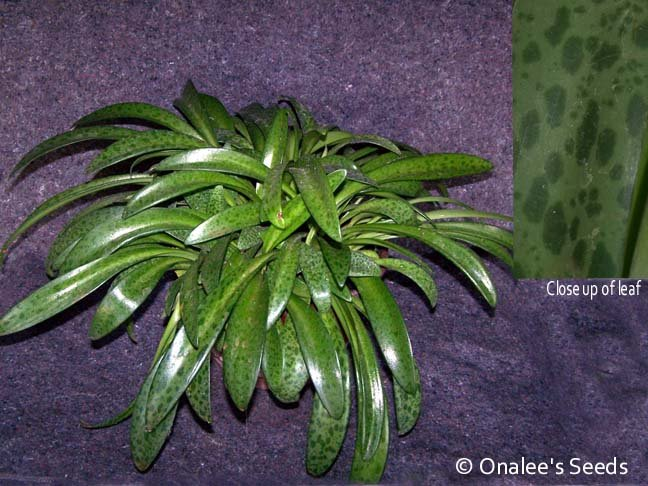 Image 1 of Silver Squill, Ledebouria ssp, Leopard Lily. Great container / house plant!