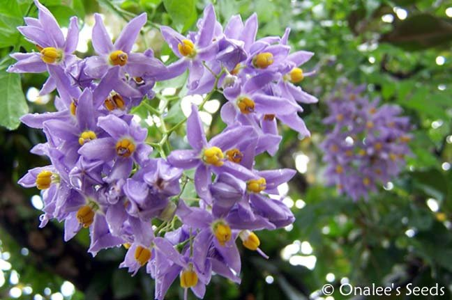 Image 1 of St. Vincent's Lilac (AKA:  Italian Jasmine, Potato Vine) Solanum seaforthianum